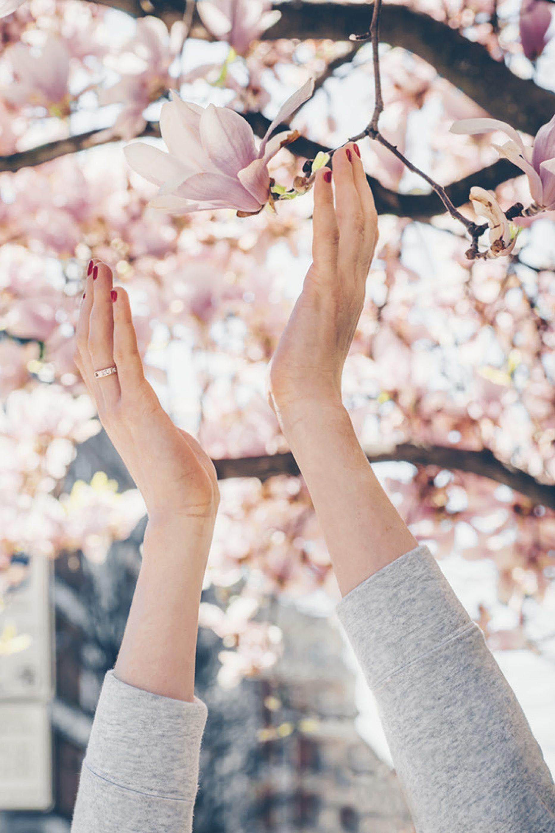 Pięknie kwitnie, zwalcza raka (magnolia)